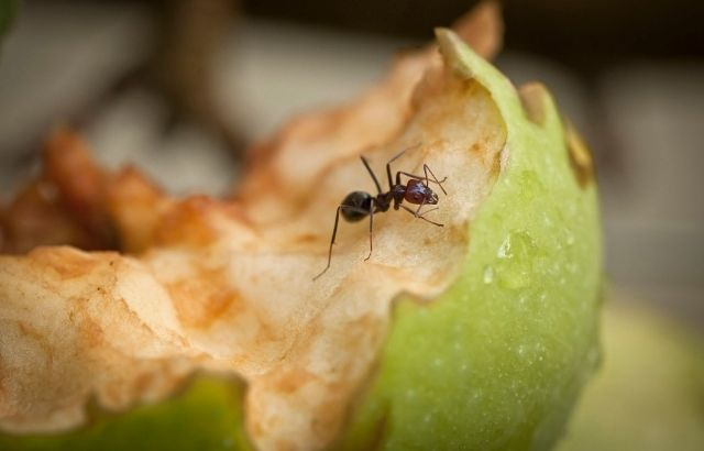how to get rid of green ants naturally