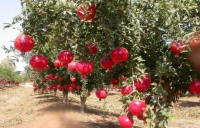 How to Prune a Pomegranate Tree