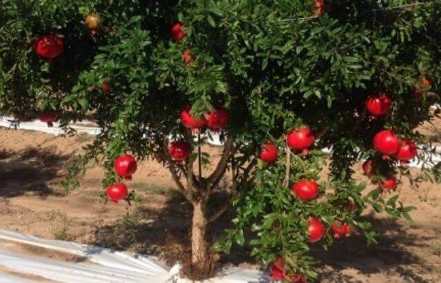 how to prune a large pomegranate tree