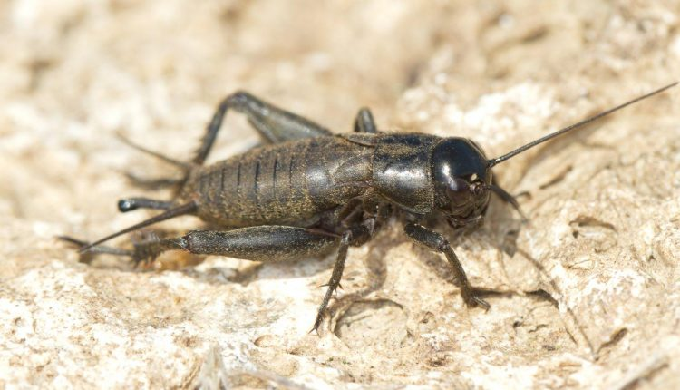 How To Get Rid Of Crickets In Basement